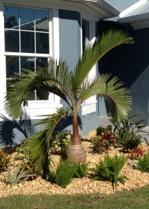 The Beautiful Striking Bottle Palm Tree Is A Very Unique Because Of Rather Large Bulge Trunk Slow Growing And Adds