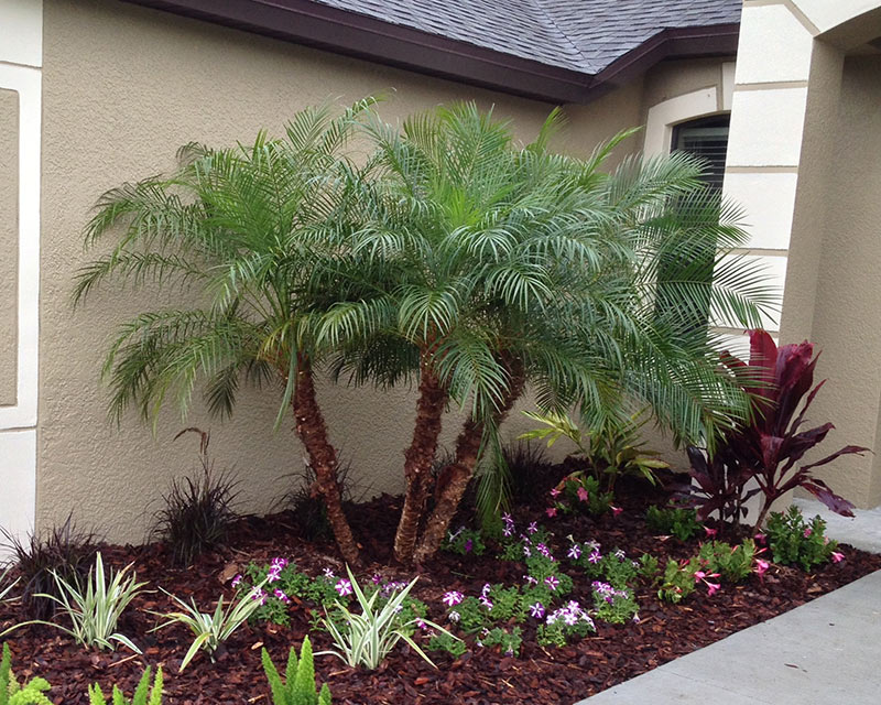 Tampa Palm Tree Sales And Installation Oasis Palms